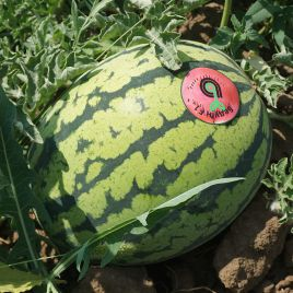 Бедуин F1 семена арбуза тип Тайгер среднего 80 дн. 8-10 кг овал. (Bejo)