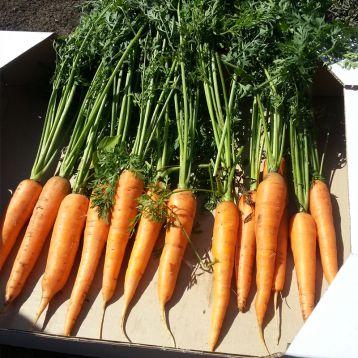 Борец F1 семена моркови Шантане (Clause)