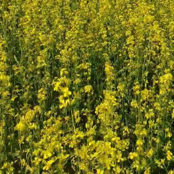 Горчица желтая (медонос/кормов./сидерат) семена (Украина СДБ)
