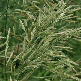 Овсяница тростниковая (кормов./газон) семена (Украина СДБ)
