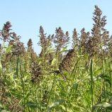 Сорго суданское (кормов.) семена (Украина СДБ)