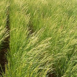 Стоколос (Кострец) безостый (кормов.) семена (Украина СДБ)