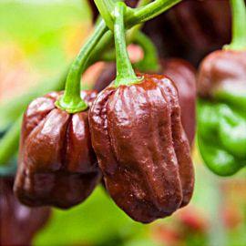 Хабанеро шоколадный семена перца острого позднего 3-4 см (Satimex СДБ)