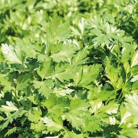 Пионе Organic семена петрушки листовой ранней (Enza Zaden/Vitalis)