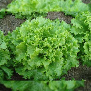 семена салата батавия гентилина