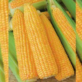 Голдей F1 семена кукурузы сахарной Se средней 90-95 дн. 22см (SAIS)
