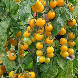Стар Голд F1 семена томата индет. черри желтого (Esasem)