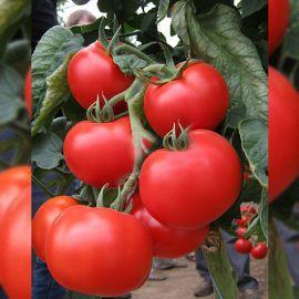 Ноэми F1 семена томата индет. среднераннего 80 дн. окр.-припл. 250 гр. (Esasem)