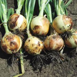 Констанза F1 семена лука репчатого среднего 100 дн. 160г (Griffaton)