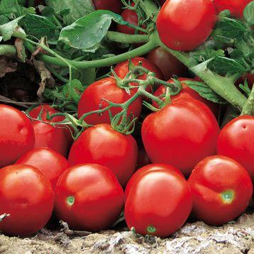 Апгрейд F1 семена томата дет. среднераннего 100-110 дн. слив. 75 гр. красный (Esasem)
