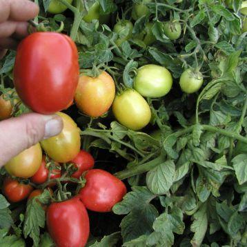 Орбит семена томата дет. (Semo)