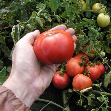 Павлина семена томата дет. (Semo)