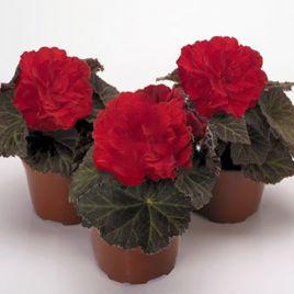 Агнесса Red семена бегонии махровой дражированные(Kitano Seeds)