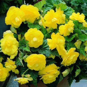 Бегония Агнесса желтая (Agnessa Yellow)