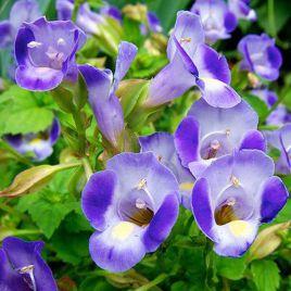 Адажио Blue / White семена торении дражированные (Kitano Seeds)