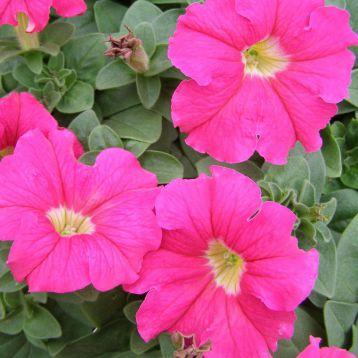 петуния Адреналин Rose (розовая)