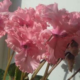 Академия Blush Eye семена цикламена (Kitano Seeds) НЕТ ТОВАРА