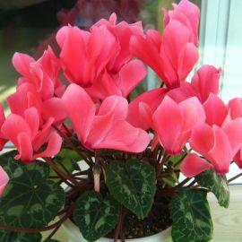 Академия Tropical Red семена цикламена (Kitano Seeds) НЕТ ТОВАРА