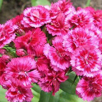 Алиби Микс (Alibi Mix) семена гвоздики F1 (Dianthus F1) (Kitano Seeds) НЕТ ТОВАРА