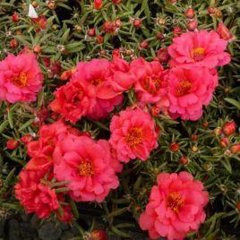 Амелия Cherry Red семена портулака крупноцветкового (Kitano Seeds)