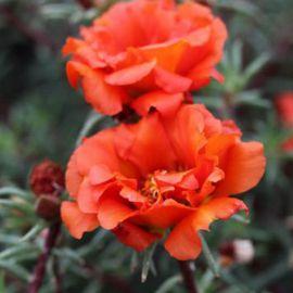 Амелия Flame семена портулака крупноцветкового (Kitano Seeds) НЕТ ТОВАРА