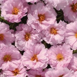 Амелия Pink семена портулака крупноцветкового (Kitano Seeds) НЕТ ТОВАРА