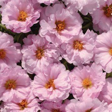 Амелия Pink семена портулака крупноцветкового (Kitano Seeds)