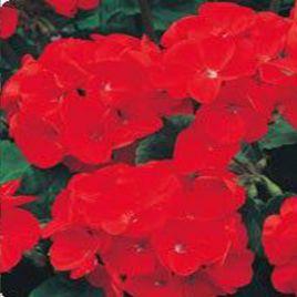 Аризона Velvet семена пеларгонии зональной (Kitano Seeds)