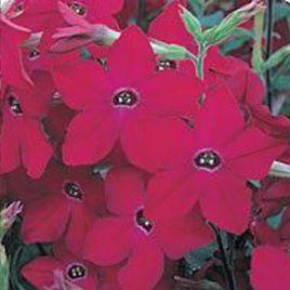Арома Red семена табака дражированные (Kitano Seeds)