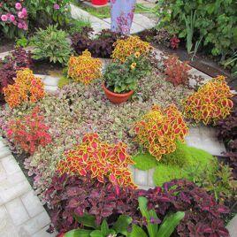 Бамбино Корл/Грин (Bambino Coral/Green) семена колеуса (Coleus) (Kitano Seeds) НЕТ СЕМЯН