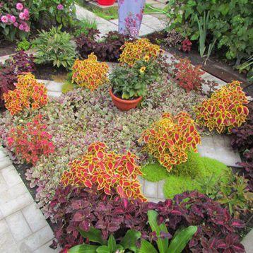 Бамбино Корл/Грин (Bambino Coral/Green) семена колеуса (Coleus) 30-35см (Kitano Seeds) НЕТ СЕМЯН