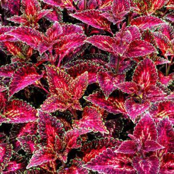 Бамбино Velvet семена колеуса (Kitano Seeds)