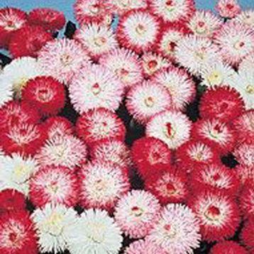 Баронет Mix семена маргаритки дражированные (Kitano Seeds)