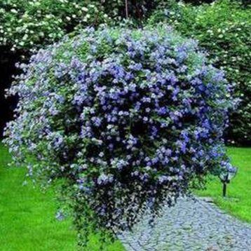 Бакопа Беллі Blue (блакитна)
