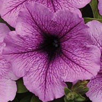 Бриз Plum Vein семена петунии ампельной дражированые(Kitano Seeds)
