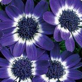 Вероника Blue Picotee семена цинерарии (Kitano Seeds)