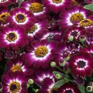 Вероника Crimson Picotee семена цинерарии (Kitano Seeds)