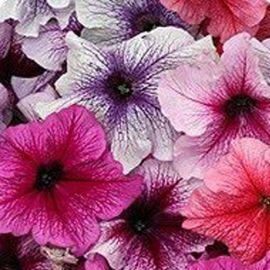 Виртуоз Берри миксд (Berry mixed) семена петунии крупноцветковой дражированные (Kitano Seeds)