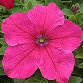 Виртуоз Брит Роуз (Bright Rose) семена петунии крупноцветковой дражированные (Kitano Seeds)