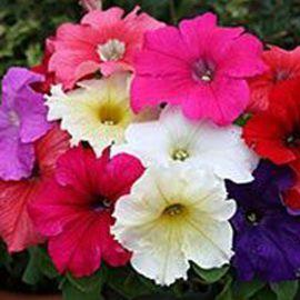Виртуоз Formula mixed семена петунии крупноцветковой дражированые (Kitano Seeds)