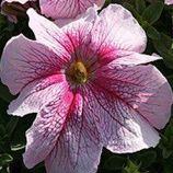 Виртуоз Raspberry семена петунии крупноцветковой дражированые (Kitano Seeds)
