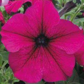 Виртуоз Руби (Ruby) семена петунии крупноцветковой дражированные (Kitano Seeds)