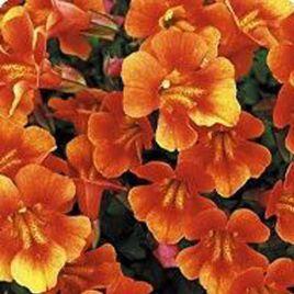 Гавайи Orange семена губастика дражированные (Kitano Seeds)