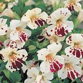 Гавайи White Blotch семена губастика дражированные (Kitano Seeds)