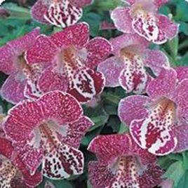 Гавайи White Flame семена губастика дражированные (Kitano Seeds)