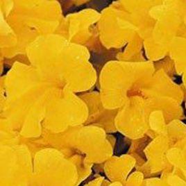 Гавайи Yellow семена губастика дражированные (Kitano Seeds)