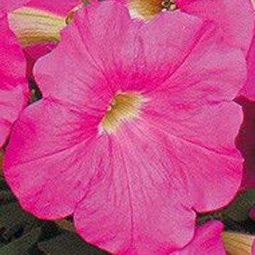 Петуния Гирлянда Bright Rose (Брит Роуз)