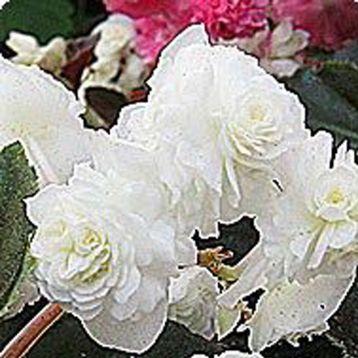 Бегония махровая Делюкс White (белая)