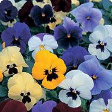 Диана Formula mixed семена фиалки ампельной (Kitano Seeds)