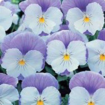 Диана Lavender семена фиалки ампельной (Kitano Seeds)
